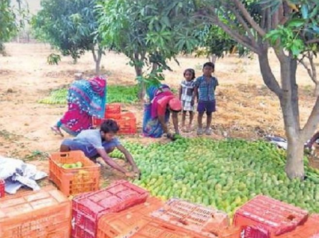 raigarh-news-women-are-becoming-self-dependent-with-the-production-of-dusheri-mango-in-lailunga